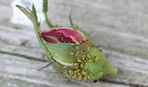 Plants That Repel Aphids by Organic Aphid Control