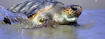 loggerhead turtle sea turtles species wwf