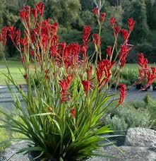 native edible plants australia australian native coastal flowering plants google search