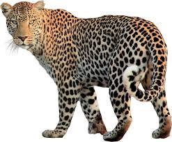 jaguar clipart top 85 leopard clipart free clipart spot