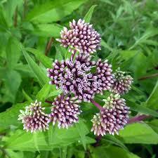 native uk plants hemp agrimony eupatorium cannabinum moisture loving u0026 bog plants