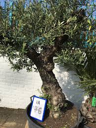 100 year gnarly olive tree for sale buy now for free delivery