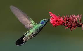 12 amazing hummingbird facts for kids i scientist