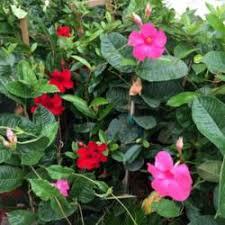 Mandevilla Plant Diseases - mandevilla vine knowledgebase question garden org