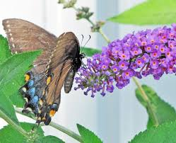 butterfly bushes plant care and collection of varieties garden org