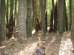 117 best backyard images on pinterest landscaping bamboo plants