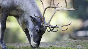 a contagious brain disease has hit norway u0027s reindeer and