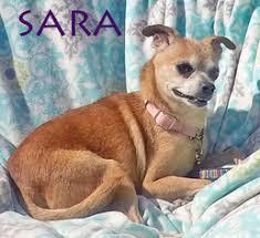 boston huahua dogs for adoption in usa