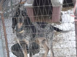 bluetick coonhound forums ukc forums harpers u0027 stonecold bluetick kennel