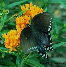 Butterfly Flower How To Grow Butterfly Weed Asclepias Tuberosa Hubpages
