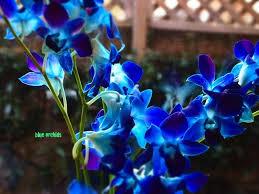 Blue Orchid Flower - 54 best blue diamond orchid images on pinterest blue orchids