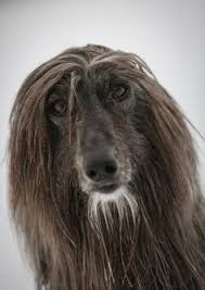 afghan hound lifespan the 107 best images about ancient afghan hound on pinterest
