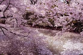 cherry blossom season kicks off in tokyo huffpost