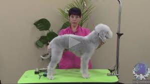 feeding a bedlington terrier grooming a bedlington terrier 1 of 4 part series