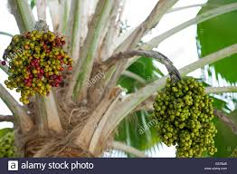 palm tree with different types of seeds caribbean coast colombia