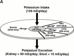 renal potassium transport mechanisms and regulation renal