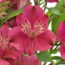 alstroemeria flower alstroemeria flower