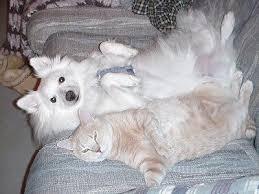 american eskimo dog calgary более 25 лучших идей на тему щенок американского эскимосского
