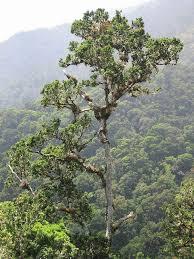 White Oak 7 Tall Quercus Copeyensis White Oak Tree At 2 700 M Elevation