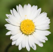 daisy pictures free download