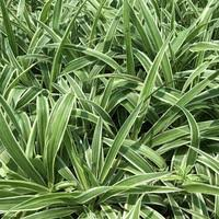 buy foliage ornamental plants at best prices in india tagged