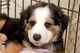 rescue an australian shepherd puppy view ad australian shepherd great pyrenees mix dog for adoption