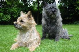 cairn terrier haircuts cairn terrier appearance grooming