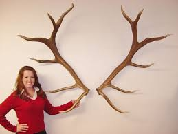 Antler Home Decor Antlers Ready To Hang Yellowstone Antlers