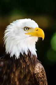 best 20 eagle images ideas on pinterest u2014no signup required bald