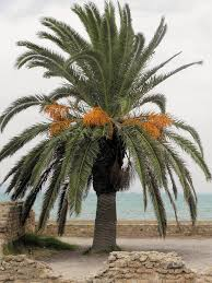 Palm Trees Fruit - date palm growing u2013 how to care for a date palm tree