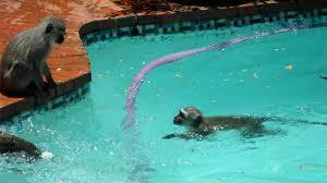 Pools For Backyards by Monkeys Swimming In Backyard Pool Youtube
