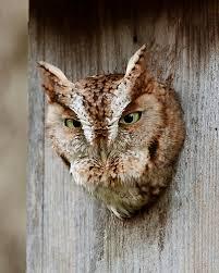 Barn Owl Sounds Learn Owl Sounds