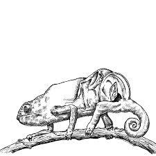 chameleon drawing by karl addison