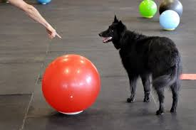 belgian shepherd headbutt head games dogs trained in treibball exercise mind body