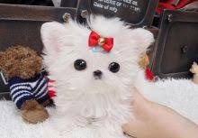 Seeking Teacup Teacup Maltese Classifieds At Eclassifieds 4u