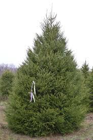 wholesale direct evergreen trees tree grade photos merwine farms