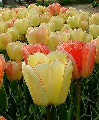 tulip silverstream giant darwin hybrids tulips flower bulb index