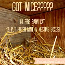 not a creature was stirring got mice in your coop fresh eggs