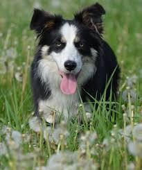 australian shepherd and border collie free images summer border collie race vertebrate dog breed