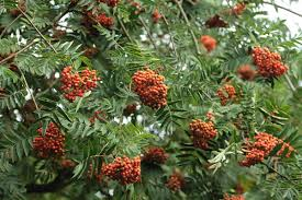 mountain ash tree with berries 12229