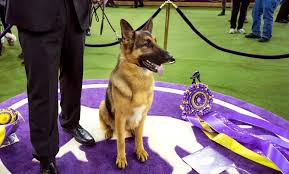 belgian sheepdog crossword 14 of the most expensive dog breeds newsday
