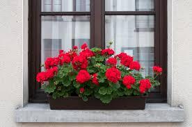 how to over winter geraniums