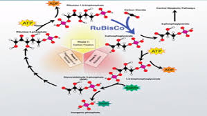 Light Independent Reactions Definition Carbon Fixation In Photosynthesis Definition U0026 Reactions