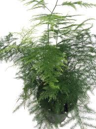 amazon com fern leaf plumosus asparagus fern 4