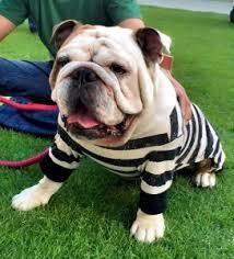 Halloween Costumes Puppies Bulldog Costumes