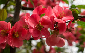 hd images of flowers peach flowers hd wallpapers