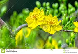 Flowers Bloom by Double Yellow Apricot Flowers Bloom Together In Spring Morning