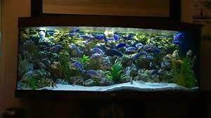 african malawi cichlid fish tank aquarium 450l phase 2 youtube