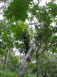 nau researchers searching for best trees to re populate panama