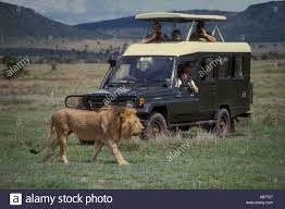 toyota national toyota four wheel drive landcruiser close to male lion serengeti